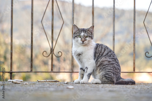 Photo gray tabby cat next to metal fence with white chest and light green eyes with unfocused background
