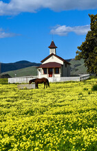 Beautiful Horse In Meadow Full Of Yellow Wildflowers At Old 1881  Historic School House