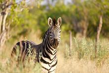 Closeup Of A Zebra Against Open Woods In A Savanna