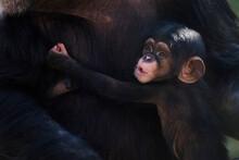 Mother And Child Chimpanzee Portrait