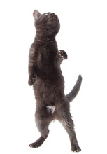 Black Cat Stands On Two Legs