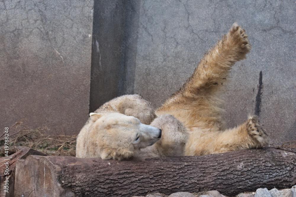 Fototapeta Warsaw ZOO - Polar bear