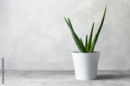 An aloe vera plant in a modern pot on a gray background Tapéta, Fotótapéta