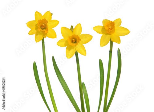 Obraz Yellow daffodils isolated on white - fototapety do salonu