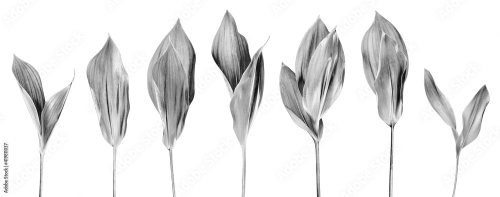Fototapeta Silver leaves set light white background isolated closeup, gray metal leaf collection, floral design element, foliage, flower branch, plant twig, tree sprig, sprout, natural decoration, border pattern