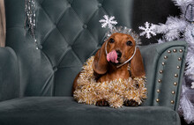 The Dog Licks Its Lips While Lying On A Cozy Armchair In The Living Room With A Christmas Decoration On Its Head In The Form Of Snowflakes. There Is A Large Red Christmas Tree Toy Next To The Dog.