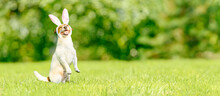 Easter Panoramic Background With Dog Wearing Easter Bunny Ears Costume Outside At Spring Lawn