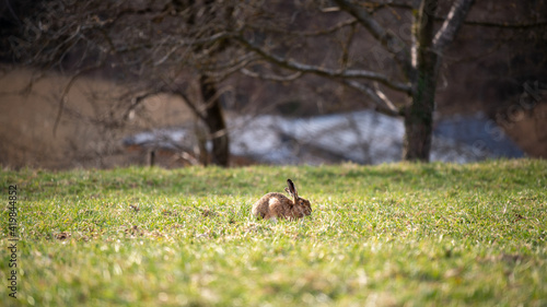 Häschen sitzt in der Wiese und frisst Gras