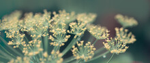 Close Up Of Blooming Dill Flowers. Nature Background.