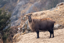Himalayan Tahr On A Cliff