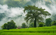 Silk Cotton Tree Or Simal Tree In Local Name On A Terraced Paddy Field In Tropical Atmosphere In Chapakot Village Of Syangja In Nepal.