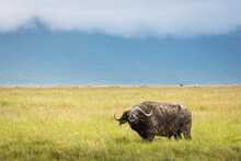 Buffalo In The Grass Staring To The Camera During Safari In Ngorongoro National Park In Tanzani. Wilde Nature Of Africa. Beautiful Rainy Clouds In Background.