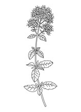 Mint Flower And Leaves Line Art Illustration. Perfect For Pattern, Logo, Posters, Invitation And Greeting Card Design. Hand Drawn Mint Plant. Delicate Summer Drawing.