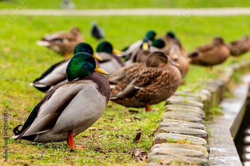 Foto Profile portrait photo of colourful male duck standing in park with other ducks,