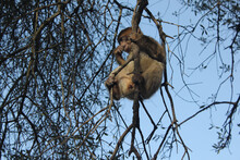A Barbary Macaque Licking Thumb And Hanging In Tree | Gibraltar Monkey | Tourist Attraction