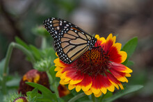 Monarch Butterfly, Danaus Plexipus, On Red And Yellow Blanket Flower, Gaillardia X Grandiflora