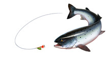 Rainbow Trout Fish On White Background. Chinook Salmon, Salmon, Snout Fish Big Realistic Isolated Illustration. Trout Attacks Bait Spoon Spinner.