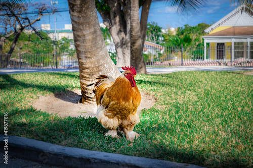 Canvas Print chicken