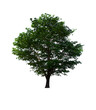 isolated tree is located on a white background. Collection of isolated tree on white background Tropical tree