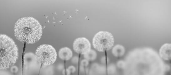 black-and-white landscape of white dandelions