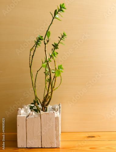 Fototapeta Roślina w dekoracyjnej drewnianej donicy. obraz