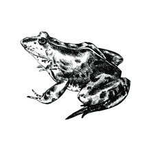 Realistic Frog Isolated. Detailed  Black And White Sketch. Hand Drawn Frog Silhouette On White Background. For Printing T-shirt, Notebook, Menu, Postcard.