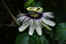 Passiflora Flower In Macro. Passion Fruit Flower