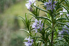 Blooming Rosemary Plant, Close Up