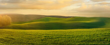 Panoramic View Of Wavy Fields With Lines Of Winter Crops In Spring At Evening Light