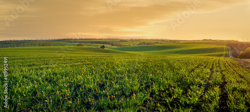 green sprouts of wheat or rye on the hilly terrain of the agricultural field, at evening lights, spring