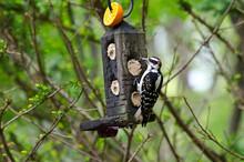 USA, Minnesota, Mendota Heights, Mohican Lane, Downy Woodpecker