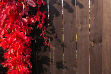 Red Boston Ivy On The Background Of A Fence Made Of Wooden Planks Painted In Rosewood Brown.