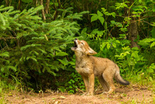 USA, Minnesota, Pine County. Coyote Pup Howling At Den.