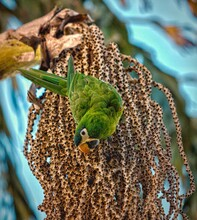 🇧🇷 Maracanã - Pequena 🇬🇧 Red - Shouldered Macaw 🔬 Diopsittaca Nobilis