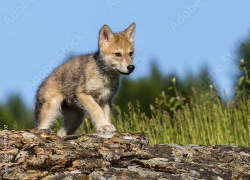 Photo Wolf pup.