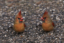 Female Northern Cardinal Feeding On Ground Under Bird Feeder In Early Spring Day With High Winds