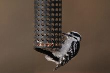 Female Downy Woodpecker Hanging Off Feeder In Early Spring Day Feeding