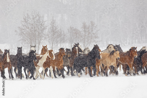 Winter horse roundup, Kalispell, Montana. Fototapeta