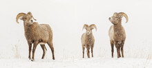 Bighorn Sheep In Winter, Yellowstone National Park, Montana.
