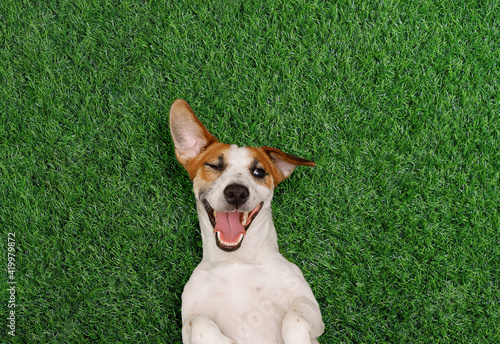 Fototapeta Funny dog winks and smiles on the green grass in the park. obraz