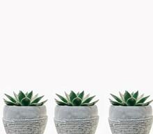 Aloe Vera Cactus In A Pots