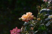 Rose Flowers With Rain Drops And Dew Drops
