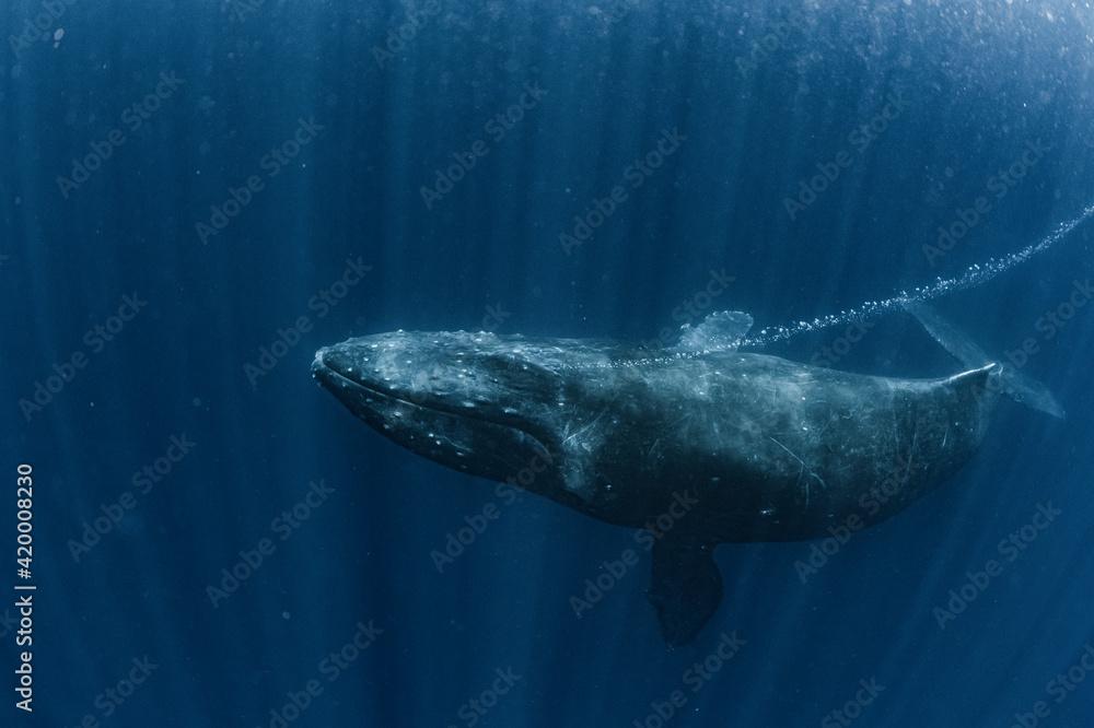 Fototapeta A Humpback Whale breathe out