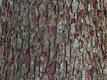 Pine Bark Close Up. Tree Bark Texture.