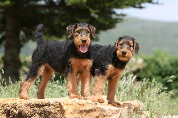 Deux jeunes Airedale terrier debout