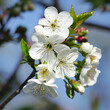 canvas print picture White flowers of sweet cherry