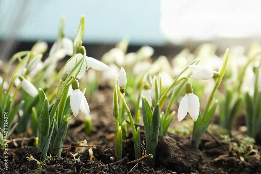 Fototapeta Beautiful snowdrops growing outdoors. Early spring flowers