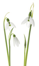 Beautiful Snowdrops On White Background. Spring Flowers