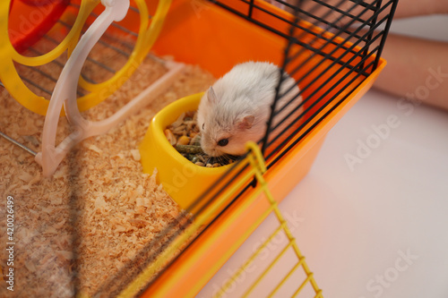 Leinwand Poster Cute funny pearl hamster feeding in cage, closeup