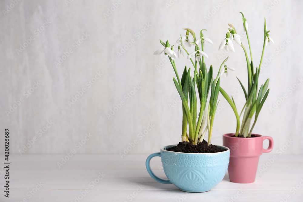Fototapeta Beautiful snowdrops planted in cups on white wooden table. Space for text